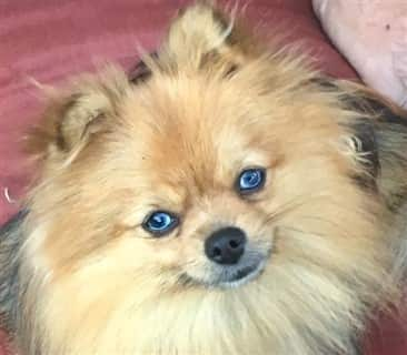 Why Does My Pomeranian Stink, Smell, Have Bad Odor