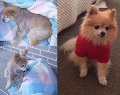 Rescued Pomeranian before and after
