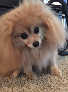 rescued Pomeranian no cost