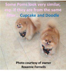 two Pomeranians from same litter
