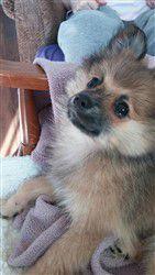 sable-pomeranian-puppy-tan-white.