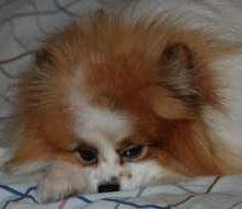 keeping female Pomeranian safe