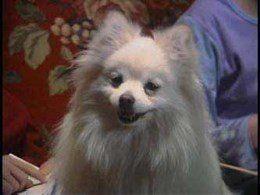 Sashi Pomeranian on movie set