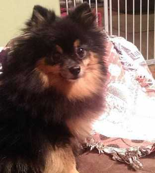 senior female Pomeranian dog
