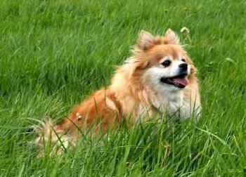 senior Pomeranian dog