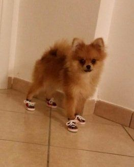 Pomeranian with shoes on