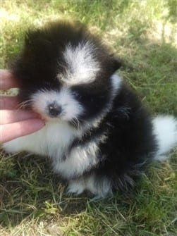 small-black-and-white-pomeranian