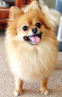 happy Pomeranian with big smile