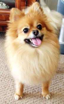 Best Shampoo For Pomeranian Dogs Fluff Without Heaviness