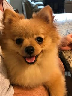 Smiling Pomeranian dog