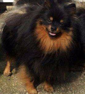 solid Pomeranian