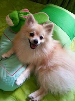 Price Cost Of Pomeranian Puppies