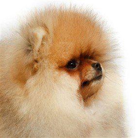 Teddy Bear Poms Pomeranian Information Center
