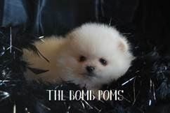 South Texas Pomeranian Breeder