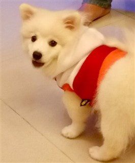 thick coated white Pomeranian