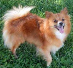 Pomeranian with thick fur