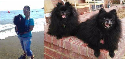 Throwback Pomeranian vs standard Pomeranian