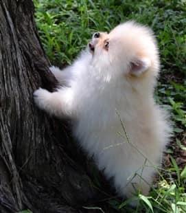 Tiny Pomeranian puppy up against a tree