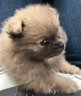 Switching Food For A New Pomeranian Puppy