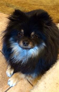 tri color Pomeranian, black, white, tan