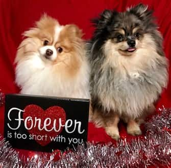 two-pomeranian-dogs-on-valentines-day