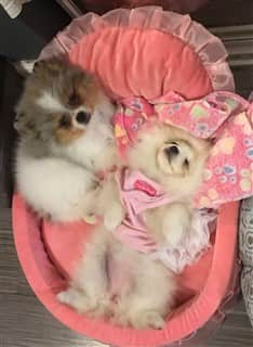two Pomeranians in a bed