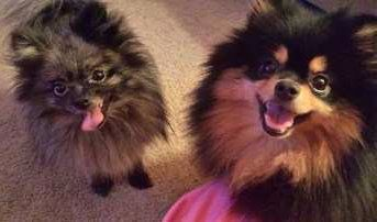 two Pomeranians together