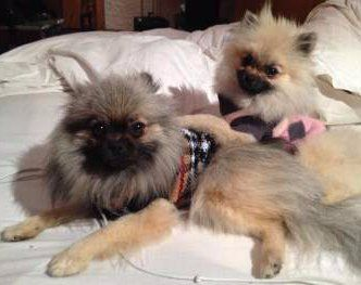 two Pomeranians with sweaters on