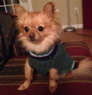 Undersized Pomeranian 2 lbs. 14 oz.