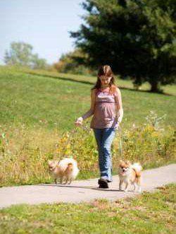 Walking Pomeranian outside