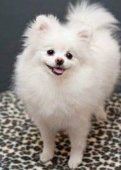 solid white Pomeranian
