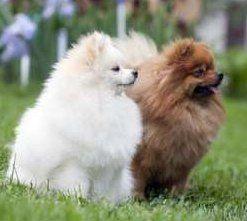 Lion Cut | Hair Cuts | Pomeranian Information CenterWhite Pomeranian Lion Cut
