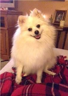 white Pomeranian facial expression