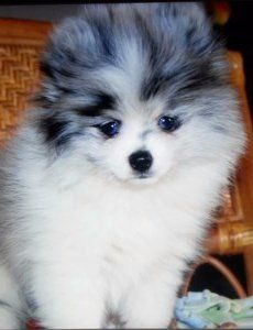 Why Pomeranians Can Look So Different