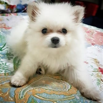 white Pomeranian puppy, 7 weeks old