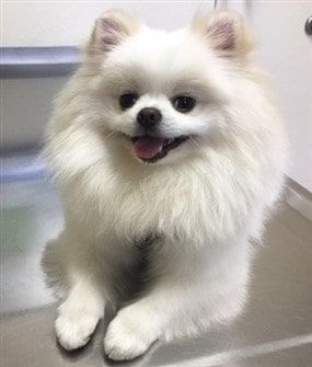 white-pomeranian-tear-stains-removed