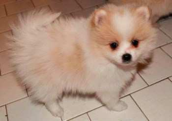 white and tan Pomeranian