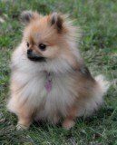 Pomeranian named Winnie