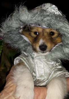 Pomeranian with winter coat on