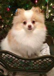 white and tan colored Pomeranian