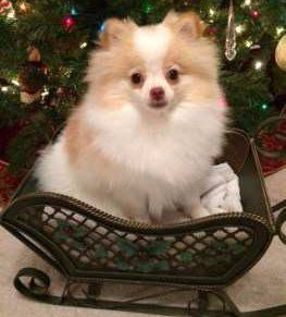 Pom puppy at Christmas time