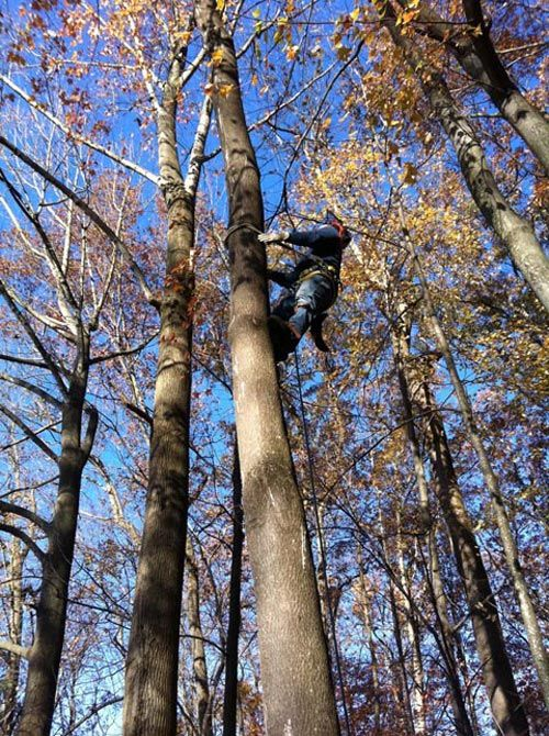 Expert climbing a tree for tree maintenance