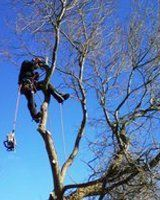 Tree maintenance work in progress