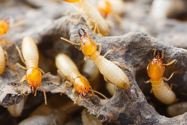 Termites or white ants destroyed