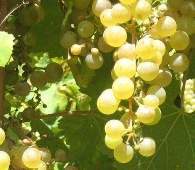 Spumanti Valdobbiadene, Vini Valdobbiadene, Campion