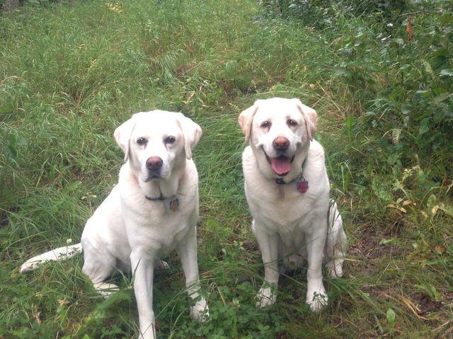 couple of labrador dogs