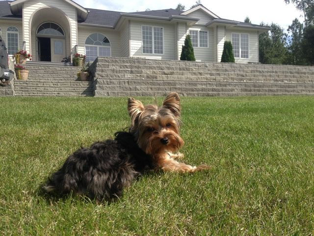 a cute terrier lying on the grass