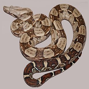 Homegrown Constrictors - Captive bred boa constrictors