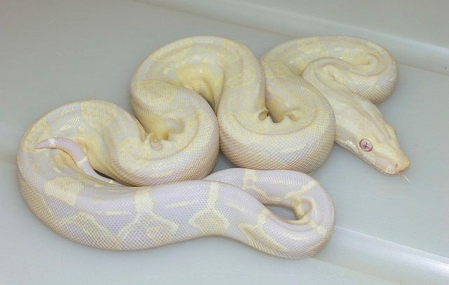 Available Babies- Captive Bred Baby Boa Constrictors For Sale