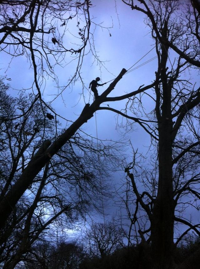Tree surgery sectional dismantling of a windblown Beech tree in Llanrug, Gwynedd, North Wales. Using tried and trusted tree surgery technique to safely dismantle a large windblown Beech tree in Llanrug near Caernarfon in North Wales.